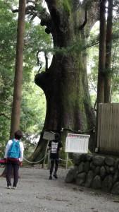 水屋神社の大楠