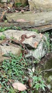 栢野不動さんの祠の横に居たマムシ